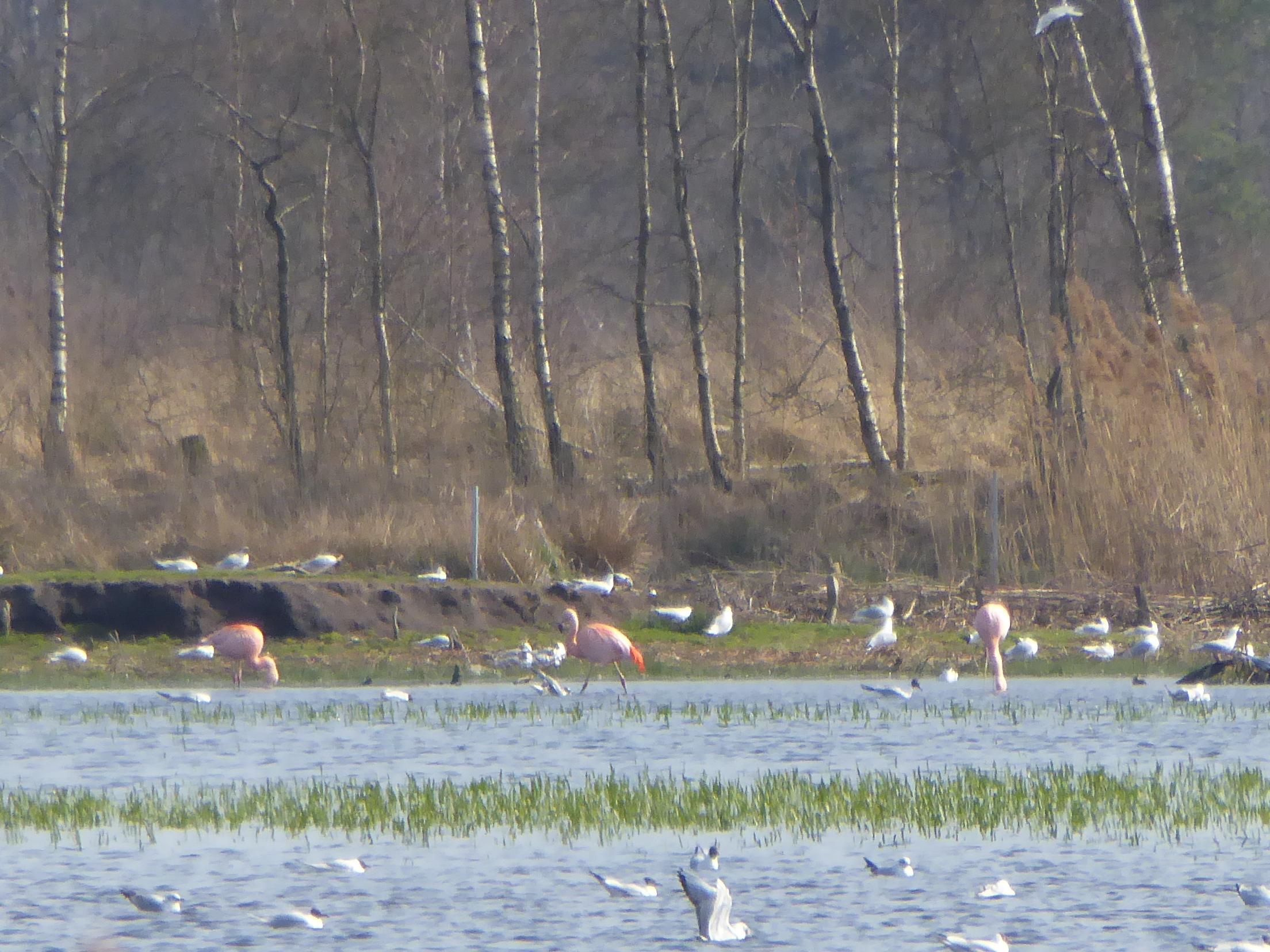 flamingos-in-het-zwillbrocker-venn